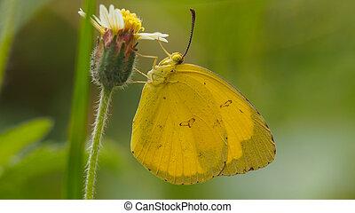 黃色, butterfly.