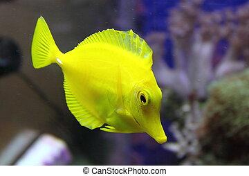 黃色, fish, 在, an, 水族館