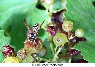 黃蜂, 葡萄