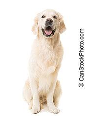 黃金, 坐, 狗, 被隔离, 白色, 取回的人
