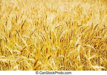 黃金, 大麥