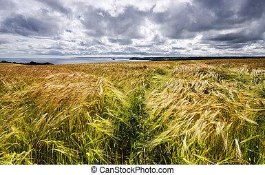 黃金, 大麥, 領域