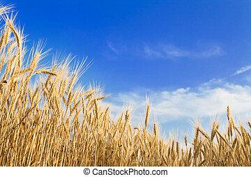 黃金, 小麥