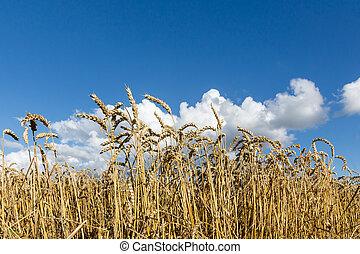 黃金, 成熟, 小麥, 針對, 藍色的天空, 背景。