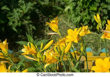 黄色のユリ, 庭で