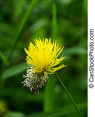黄色の花, の, 水, mimosa, 水, 敏感, plant.