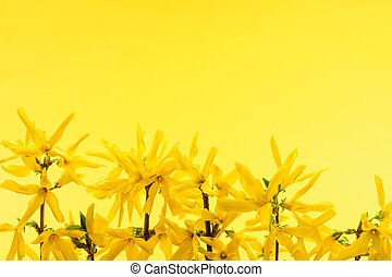 黄色の花, 背景, forsythia