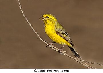 黄色, カナリア