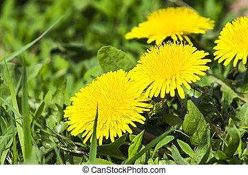 黄色, タンポポ, 上に, ∥, 緑の草, 自然, 植物