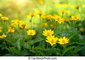 黄色, デイジー, ∥あるいは∥, dahlberg, デイジー, 咲く