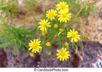 黄色, デイジー, 花, 庭で