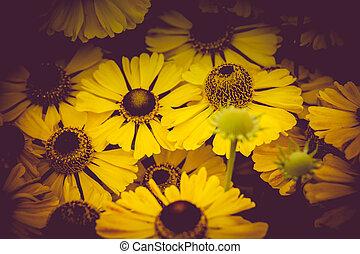 黄色, ヒナギク, 庭で
