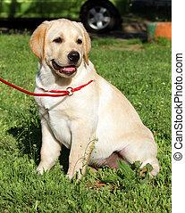 黄色, ラブラドル, 子犬, 上に, ∥, 緑の草
