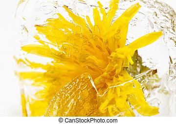 黄色, 氷, タンポポ