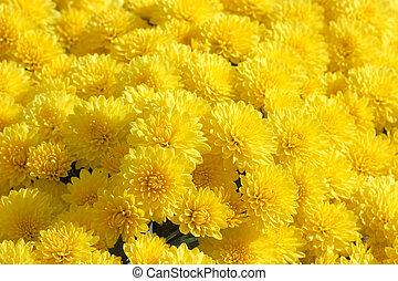 黄色, 菊, 背景
