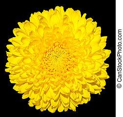 黄色, 菊, (golden-daisy), 花, マクロ, 写真撮影, 隔離された, 上に, 黒