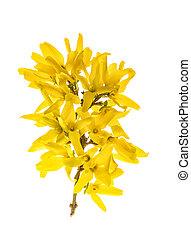 黄色, 隔離された, 花, 白, 春, forsythia, 開くこと, 背景