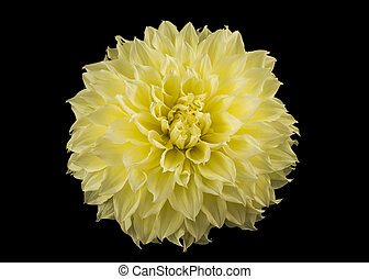 黄色, golden-daisy, つぼみ, 上に, 黒