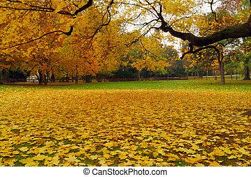黄色, mapple, 葉