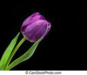 黑的紫色, 郁金香, 花, 由于, 水 下落, 上, a, 黑色的背景