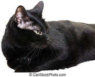 黑色的貓, 在上方, 白色, 看, 到, the, 權利, 邊, ......的, the, 圖像
