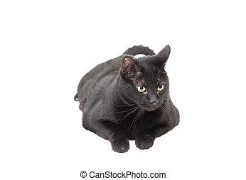 黑色的貓, 放下, 在上方, 白色