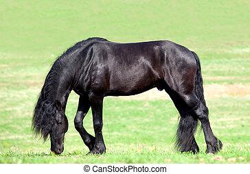 黑色, friesian, 馬, 在, field.