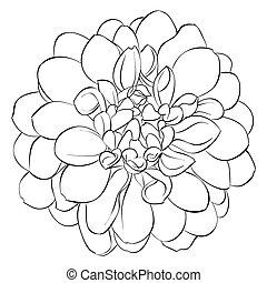 黒い、そして白い, ダリア, 花
