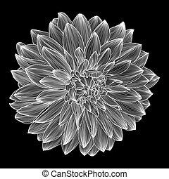 黒い、そして白い, 図画, の, ダリア, 花