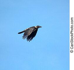 黒い鳥, 飛行, 上に, 青い空