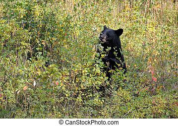 黒, ベリー, 食べること, 熊