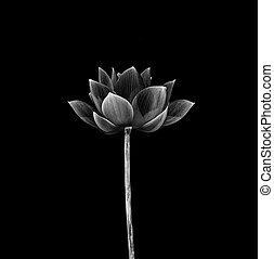 黒, 隔離された, 花, ロータス, バックグラウンド。