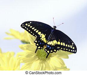 黒, swallowtail