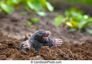 鼴鼠, 在, 地面