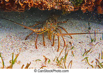 龍蝦, 在, 偉大, mayan, 礁石, 在, 里維埃拉, 瑪雅語