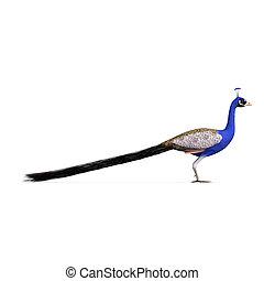 가위로 자름, 위의, 지방의 정제, peacock., 화려한, 좁은 길, 그림자, 남성, 백색, 3차원