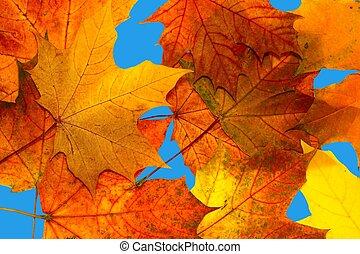가을의 단풍나무 잎