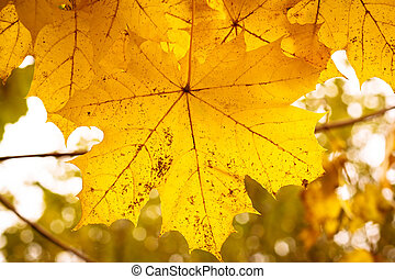 가을의 단풍나무 잎, 와, 얕은 초점, 배경