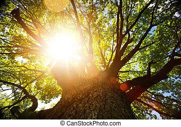 가을, 자연, background;, 크게, 늙은, 오크 나무, 향하여, 햇빛