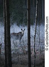 가지진 뿔, 큰사슴, canadian, 황소, 눈, 가을, sweden., 길가, 야생의, 공원도로