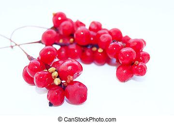 가지, 의, 빨강, 익은, schisandra, 고립된