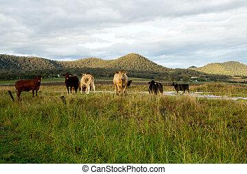 가축, 에서, 그만큼, 목장, 에서, 오스트레일리아 사람, countriside.
