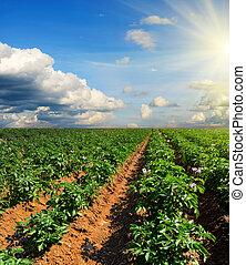 감자, 들판, 통하고 있는, a, 일몰, 억압되어, 푸른 하늘