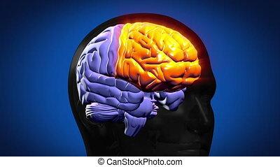 강조된다, 뇌, 은 분해한다