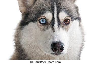 개, 통하고 있는, a, 백색, 배경.