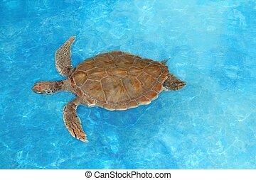 거북, 캐러비안, 초록바다거북, 녹색, 바다