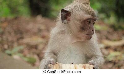 거의, 원숭이, 은 먹는다, banana., 원숭이, 숲, 에서, ubud, bali, indonesia.