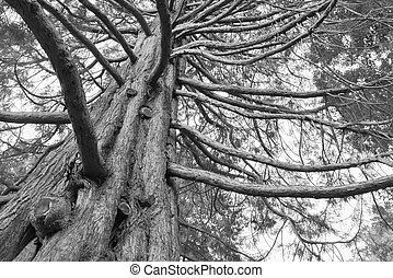 검정과 백색, 억압되어, 거인, 오크 나무