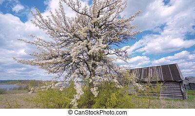 고독한, 애플, 봄, countryside., 나무, 빛, 꽃 같은, 바람