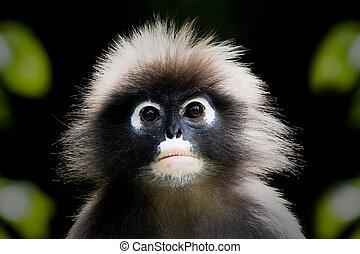 고독한, 원숭이, 매우